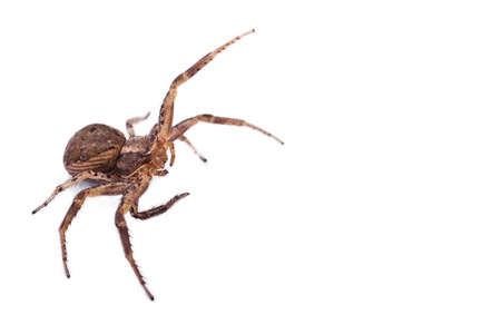 Macro of a Brown Spider isolated on a white background. Copyspace on right Stock Photo - 19395617