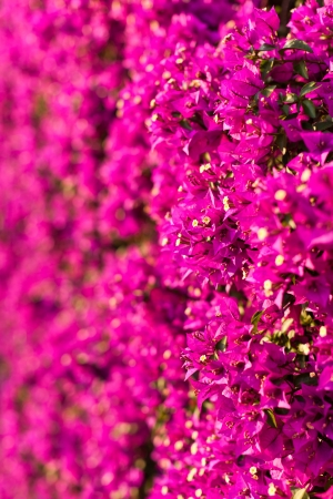a wall covered with bouganville flowers