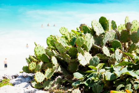 some Prickly Pears plants on the beach photo