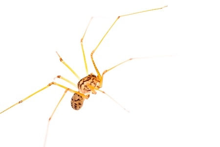 opiliones: A small long-legged spider over a white background. Supermacro Stock Photo