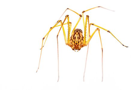 daddy long legs: A small long-legged spider over a white background. Supermacro Stock Photo