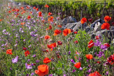 Beautiful poppies growing in a field along with other flowers and plants