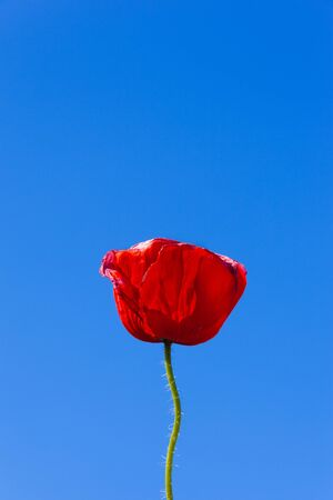 Wild, red poppies and a vibrant blue sky photo