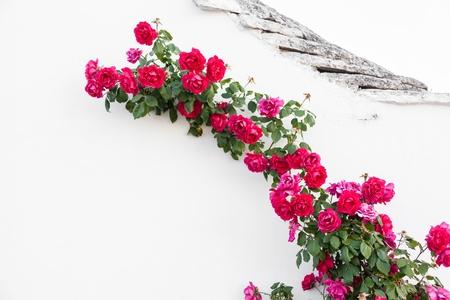 una rama de rosas rojas se arrastra en una pared blanca en un pueblo italiano