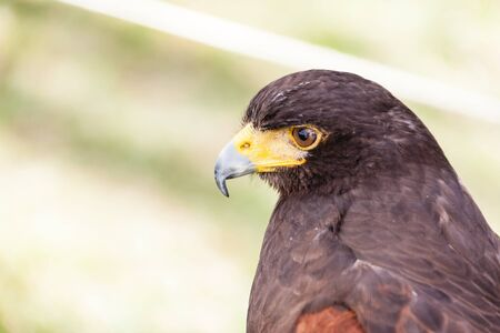falconidae: close shot of a beautiful bird of prey