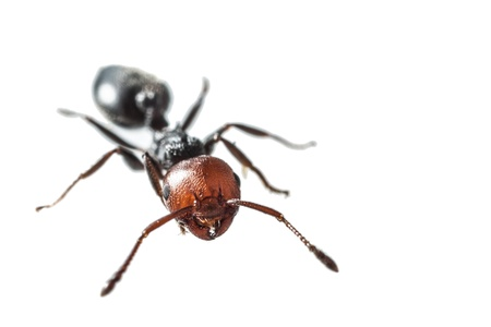formicidae: macro shot of a red headed ant isolated over white Stock Photo