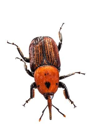 curculionidae: The red palm weevil beetle