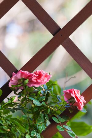 bower: some beautiful climbing roses hanging on a wooden bower Stock Photo