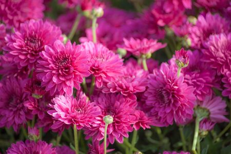 macro shot of a lot of beautiful pink flowers in a sunny day Stock Photo - 20564126