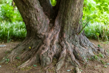 tree stump: a very big and knobby tree trunk in a park Stock Photo