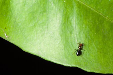 macro shot of an ant crawling over a green leaf Stock Photo