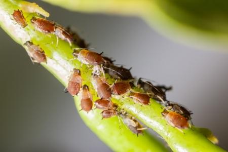 macro extrema de una colonia de áfidos sobre una hoja de cítricos Foto de archivo