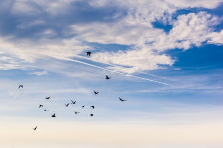 a flock of common birds fliyng together over a blue and cloudy sky