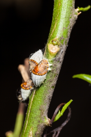 macro shot of a cochineal colony over a citrus branch