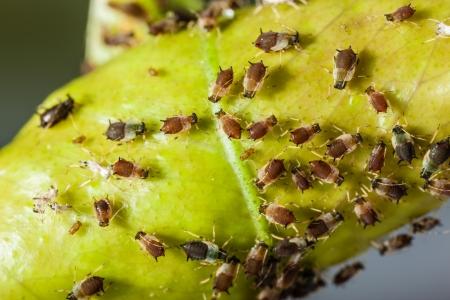 extreme macro-opname van een bladluizen kolonie over een citrus blad Stockfoto