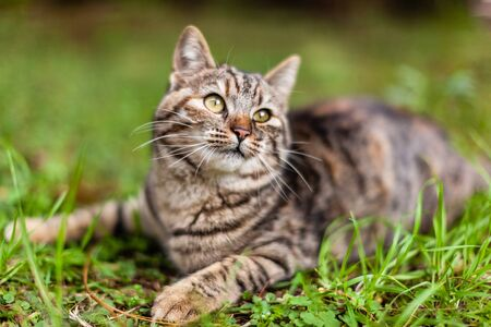 a cute european cat playng in the backyard. Shallow depth of field photo