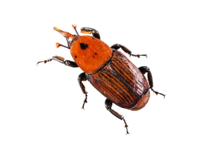 The red palm weevil, Rhynchophorus ferrugineus, is a species of snout beetle also known as the Asian palm weevil or sago palm weevil. The adult beetles are relatively large, ranging between two and five centimeters long, and are usually a rusty red colour Stock Photo