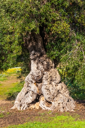 an old and very big, twisted olive tree trunk photo