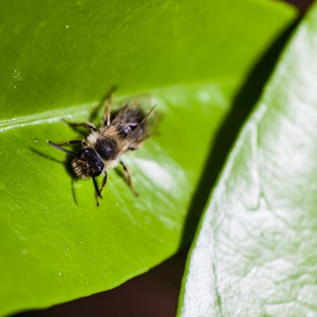 leaf cutter: extreme macro shot of a leaf cutter bee on a bright green leaf Stock Photo