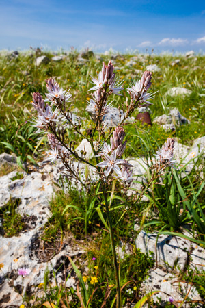 Asphodelus ramosus, also known as branched asphodel, is a perennial herb in the Asparagales order.