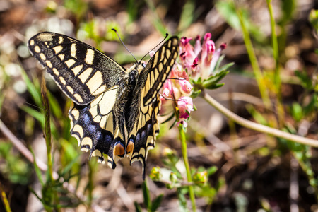 macaone: macro shot of a butterfly (Papilio machaon) feeding on a flower Stock Photo