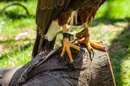 talons: The Harriss Hawk or Harris Hawk (Parabuteo unicinctus) formerly known as the Bay-winged Hawk or Dusky Hawk Stock Photo