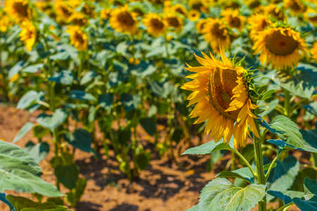 agrar: a vibrant sunflower crop in a beautiful sunny day Stock Photo