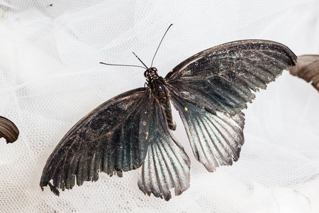 forewing: The Great Mormon (Papilio memnon) is a large butterfly that belongs to the swallowtail family Stock Photo