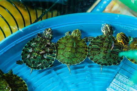 freshwater turtle: three small pet turtles in a bowl full of water triyng to escape