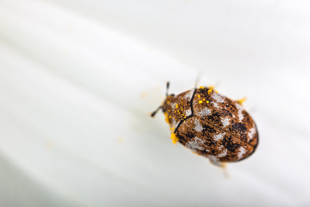 macro shot of a varied carpet beetle on a white daisy