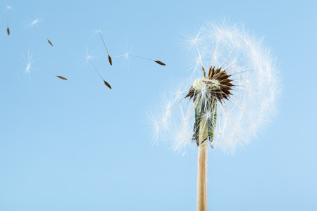 macro shot of a dandelion over a blue background with wind blowing seeds away photo