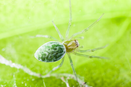 millimetres: Nigma walckenaeri; a green cribellate spider up to five millimetres long, the largest of the family Dictynidae