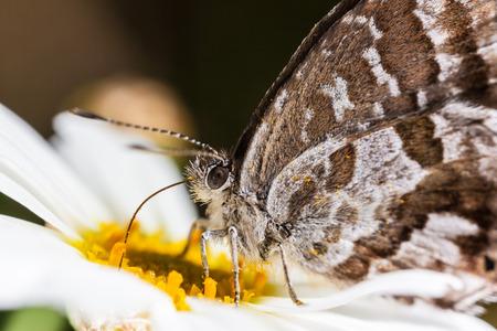 lycaenidae: The Geranium Bronze (Cacyreus marshalli) is a butterfly in the family Lycaenidae Stock Photo