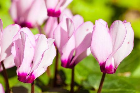 sowbread: Cyclamen is a genus of 23 species of perennials growing from tubers