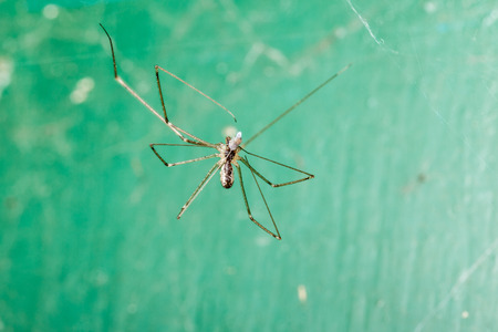 Holocnemus pluchei, the marbled cellar spider, is a cellar spider species found around the Mediterranean