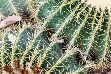 popularly: Echinocactus grusonii, popularly known as the Golden Barrel Cactus, Golden Ball or, amusingly, Mother-in-Laws Cushion