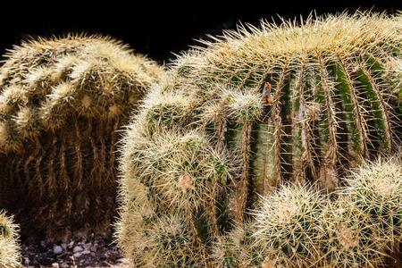 differs: This plant differs from the common Golden barrel cactus (Echinocactus grusonii) only for the very short spines