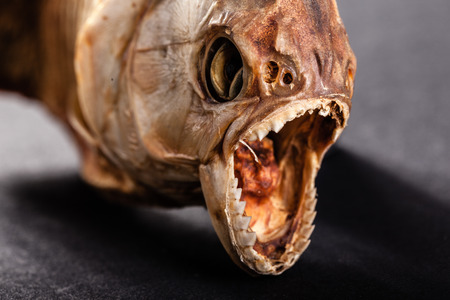 pirana: close up of the scary mouth of a dried pirana
