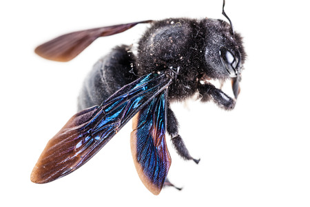 Violet carpenter bee species xylocopa violacea in high definition isolated over white