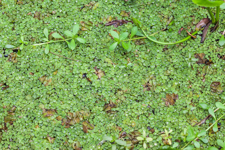 salvinia: Salvinia natans (commonly known as floating fern, floating watermoss, floating moss, or commercially, Water Butterfly Wings)