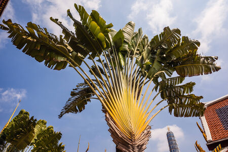 Ravenala madagascariensis, commonly known as Travellers Tree or Travellers Palm photo