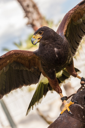 feathered: close shot of a beautiful bird of prey