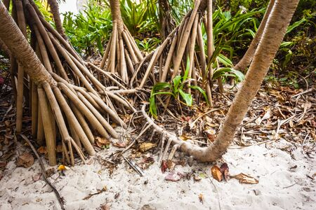 tectorius: The roots of the screwpine, Pandanus tectorius, in a tropical island