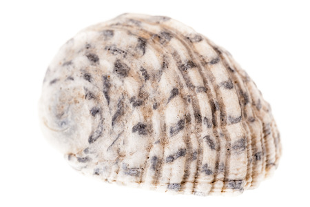 echinoderm: a small seashell isolated over a white background Stock Photo