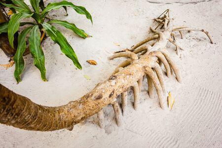 The roots of the screwpine, Pandanus tectorius, in a tropical island