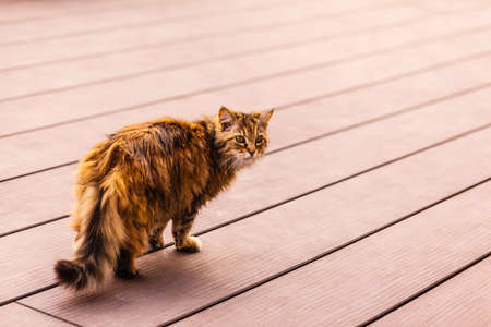 playful behaviour: a beautiful long haired norwegian cat strolling on a wooden floor outside