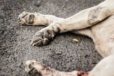 diseased: a poor diseased thai stray dog dying on the side of the road maybe after being run over