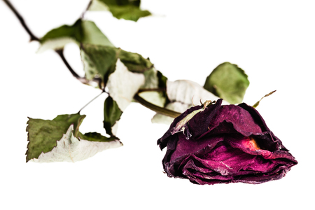 a faded red rose isolated over a white background Stock Photo