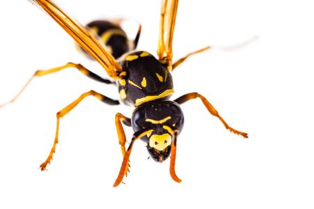 Makroaufnahme einer gemeinsamen Wespe isoliert über einen weißen Hintergrund Standard-Bild - 73597625