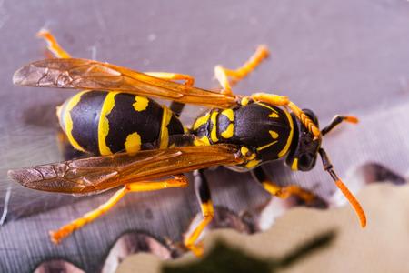 Eine schwarze und gelbe Wespe kriecht auf einem Tischtuch Standard-Bild - 73597627